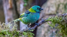 The Green-headed Tanager (Tangara seledon)