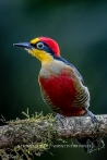 Yellow-fronted Woodpecker