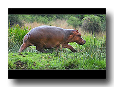 Rennendes Hippo