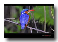 Malachit-Kingfisher