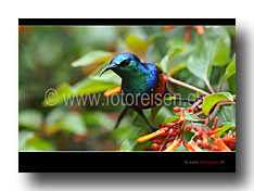Red Throated Sunbird / Nektarvogel