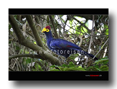 Rosses Turaco