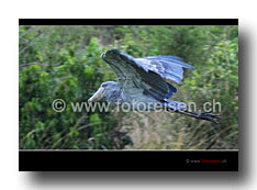 Schuhschnabel - shoebill flying
