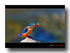 ETH_2190_Kingfisher_Catch_2d169_bot.jpg