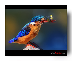 ETH_2190_Kingfisher_Catch_2d_bot.jpg