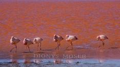 Flamingos - Laguna Colorada