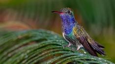 White-chinned Sapphire Hummingbird