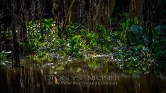 Vegetation in einem Kanal des Pantanals