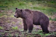 Bären, bears