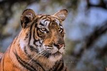 Tiger und Tiere Indien