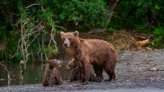 Bäremutter mit Jungen