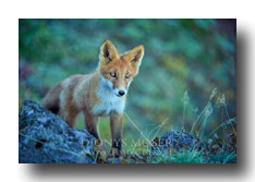 Fuchs in Kamtschatka