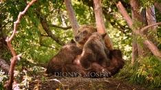 Kamtschatka-Braunbären_24