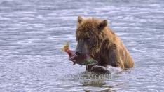 Kamtschatka-Braunbären_29