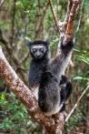 Säugetiere, Lemuren