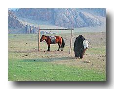 Reit- und Zugtiere in der Mongolei