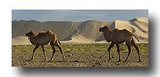 Kamele vor den Dünen