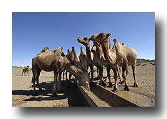 Kamele an der Wassertränke