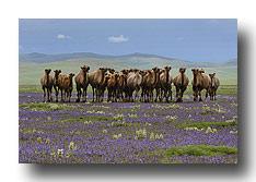 Kamele in der blühenden Steppe