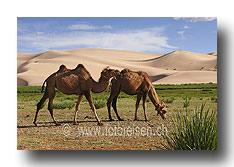 Kamele vor den Dünen von Hongrin Els