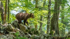 Braunbär in Slowenien