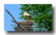 Storchenpaar im Nest