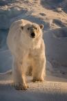 Eisbär - Polarbear