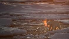 Eisbär mit Hauch
